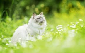 Картинка кошка, цветы, боке, Рэгдолл