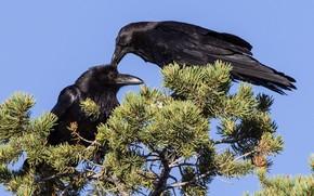 Картинка птица, клюв, пара, ворон