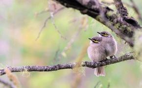 Картинка птицы, ветка, парочка, птенцы, боке, Желтолицый медосос