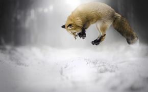 Обои зима, снег, лиса