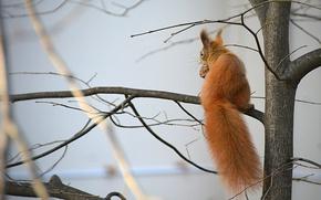 Картинка природа, дерево, орех, белка, by Placi1