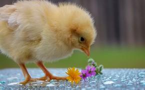 Картинка желтый, малыш, цыпленок