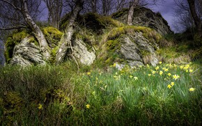 Обои нарциссы, пейзаж, трава, деревья, весна, природа, красота
