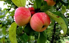 Картинка яблоки, яблоня, яблоневый сад
