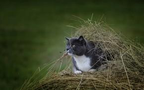 Картинка кот, укрытие, сено, наблюдение, боке
