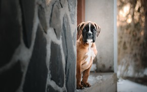 Обои взгляд, дом, собака