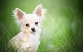 Картинка взгляд, портрет, боке, пёсик, Чихуахуа, собачонка