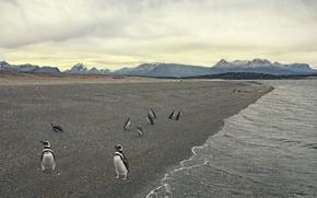 Картинка море, берег, пингвины
