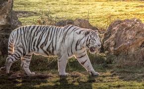 Картинка хищник, мощь, белый тигр, дикая кошка