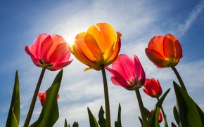 Обои бутоны, тюльпаны, лепестки, небо