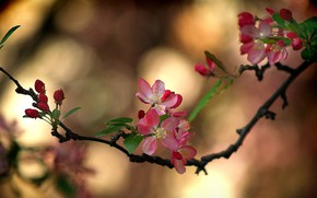 Картинка ветка сакуры, цветение весной, размытость боке