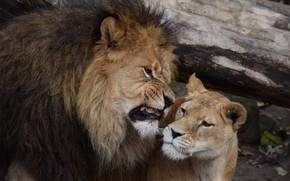 Картинка лев, львица, рык