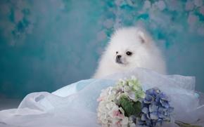 Картинка белый, щенок, ткань, гортензия, шпиц