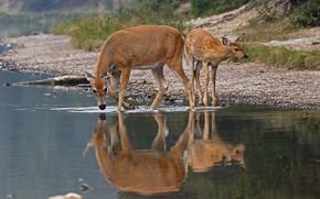Картинка природа, отражение, олененок, водопой, самка, белохвостый олень