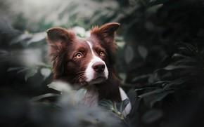 Картинка листья, морда, Бордер-колли, собака, взгляд, портрет