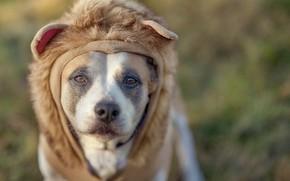 Обои морда, лев, грива, взгляд, собака