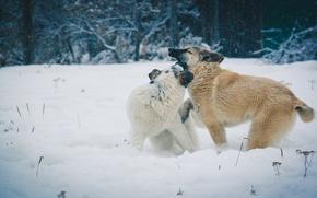 Картинка зима, собаки, снег, игры, деревня