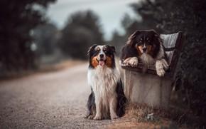 Картинка дорога, собаки, скамейка, Австралийская овчарка, Аусси, отец и сын