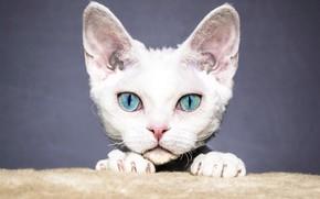 Картинка кошка, белый, глаза, кот, взгляд, морда, котенок, серый, фон, портрет, лапы, голубые, уши, котёнок, выражение, …