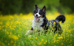 Картинка радость, цветы, собака, луг, прогулка, Бернский зенненхунд