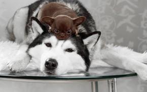 Картинка собаки, взгляд, стол, щенок, Хаски