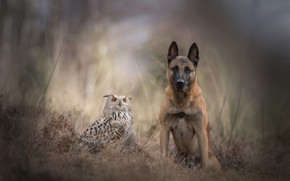 Обои грусть, осень, лес, животные, трава, природа, фон, сова, птица, собака, размытие, дружба, парочка, бельгийская овчарка