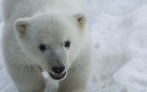 Картинка bear, puppy, nature, eyes, snow, animal, fur, ears, muzzle, Polar bear