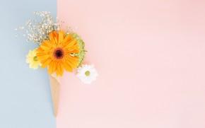 Обои цветы, герберы, хризантемы, сахарный рожок