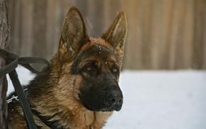 Картинка взгляд, друг, собака, dog, немецкая овчарка, shepherd, german shepherd
