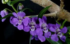 Картинка растение, лепестки, ангелония узколистная