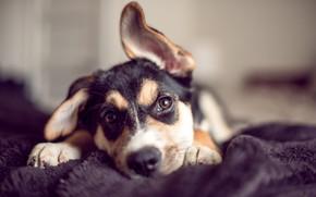 Картинка взгляд, собака, уши