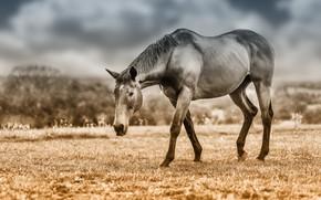 Картинка поле, небо, взгляд, морда, облака, конь, лошадь, обработка, пастбище