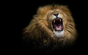 Обои лев, кошки, черный фон, рык, трава, грозный, дикая природа, грива, язык, рёв, клыки, дикие кошки, ...