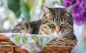 Картинка кошка, кот, взгляд, корзина, мордочка, боке, котейка