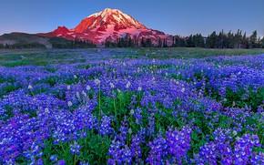 Картинка цветы, гора, луг, США, штат Вашингтон