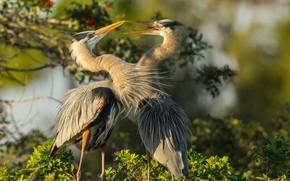 Картинка птицы, пара, цапли