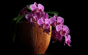 Картинка зима, орхидеи, фаленопсис, комнатные цветы, цветы дома