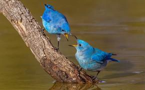 Картинка вода, птицы, природа, ветка, клюв, пара, голубая сиалия