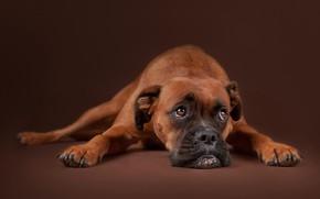 Обои грусть, взгляд, морда, фон, портрет, собака, Боксёр