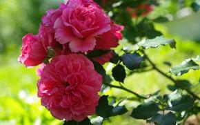 Картинка Цветы, Роза, Куст, Цветение