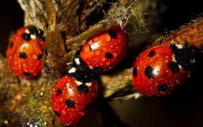 Картинка капли, макро, насекомые, ветки, роса, темный фон, растение, божья коровка, жук, жуки, красные, божьи коровки, …