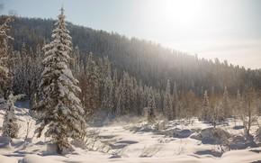 Картинка зима, лес, снег, деревья, ели, сугробы, Россия, тайга, Сибирь