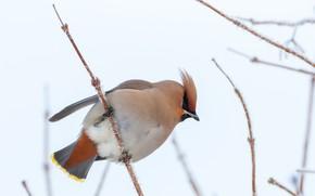 Картинка зима, птицы, свиристель, ветки калины