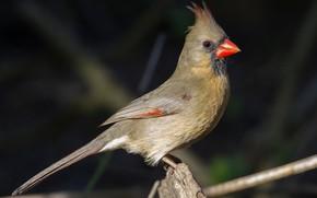 Картинка птица, клюв, хвост, кардинал