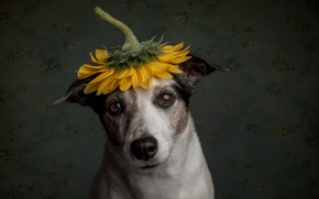 Картинка грусть, подсолнух, пёс