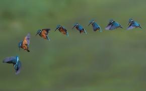 Картинка птицы, много, зимородки
