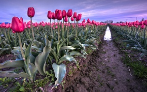 Картинка Поле, Весна, Тюльпаны, Spring, Tulips, Field