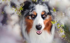 Картинка собака, весна, цветение, Charlie