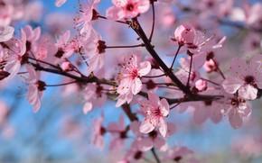 Картинка цветы, ветки, дерево, весна, цветение