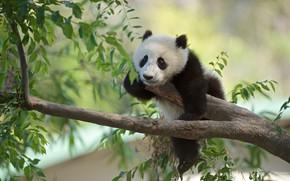 Картинка ветки, дерево, панда, медвежонок, детёныш